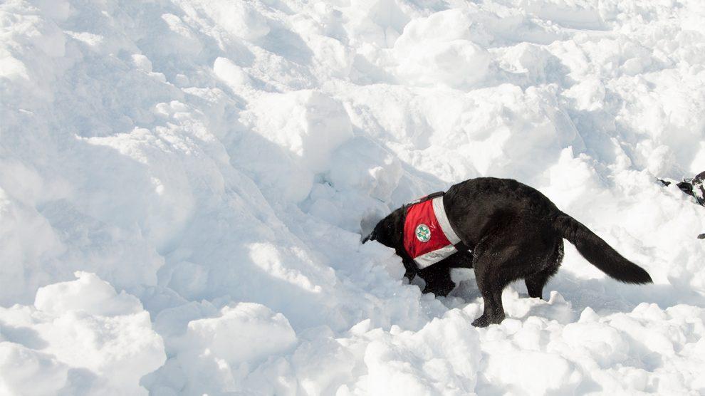 Schnüffeln und graben - der Lawinenhund bei der Arbeit © Skiing Penguin